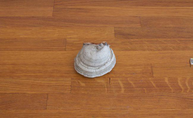 naturalnyy-berezovyy-grib-trutovik-razmer-4-foto-1